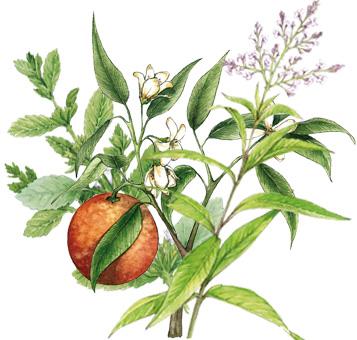 Calmosine sommeil composition plantes