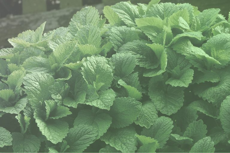 THE BENEFITS OF LEMON BALM FOR MY CHILD